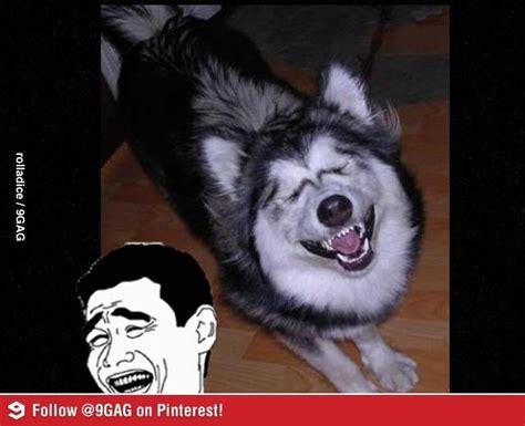 Funny Husky Memes - 40 best husky memes images on pinterest funny animals funny animal and funny animal pics