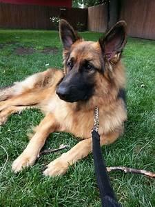 52 best Belgian Malinois (Dog Breed) images on Pinterest ...