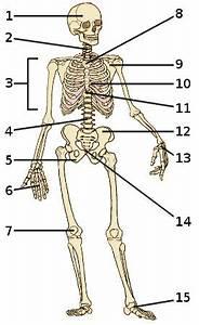 Pictures: Human Anatomy Quiz, - Anatomy Diagram Charts