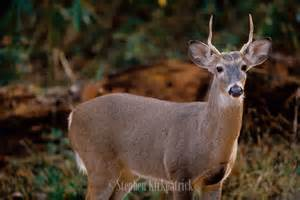 Spike Buck Whitetail Deer