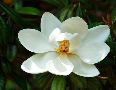 Fiore Flowers by Magnolia Tree Flower Free Stock Photo Domain Pictures