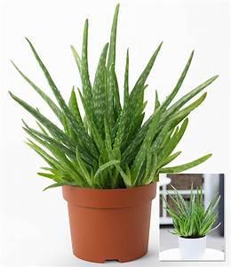 Aloe Vera 1 Pflanze Gnstig Online Kaufen Mein Schner