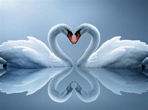 love  birds  white swans lake hd wallpaper