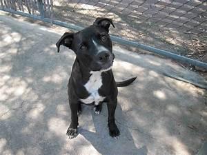Black Boxer Pitbull Mix Puppy My Pit Bull Dogs White ...