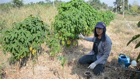 ปักชำต้นผงชูรส ผักไชยา ต้นคะน้าเม็กซิโก โครตง่ายได้ผล100% ...