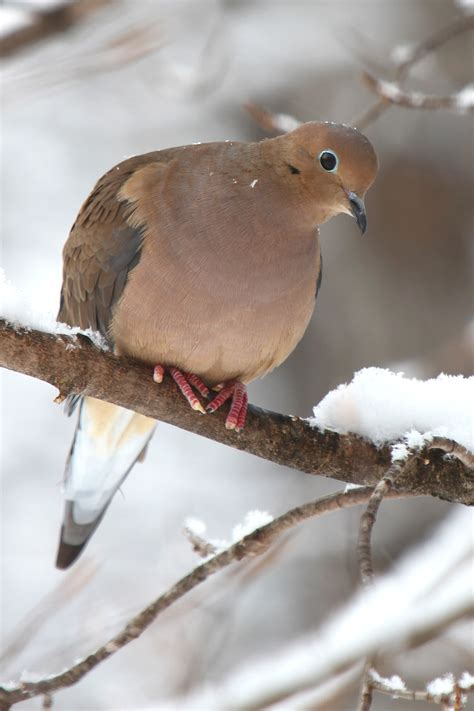1000+ images about Beautiful Mourning Dove Photography on