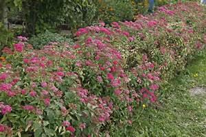 Niedrig Wachsende Hecke : hecken pflanzen planen und anlegen mein sch ner garten ~ Lizthompson.info Haus und Dekorationen