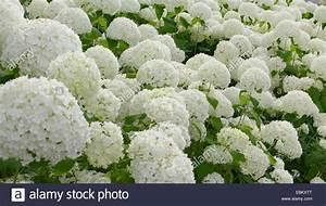 Hortensie Weiß Winterhart : garten hortensie spitze kappe wei bl henden garten hortensie hydrangea macrophylla ~ Orissabook.com Haus und Dekorationen