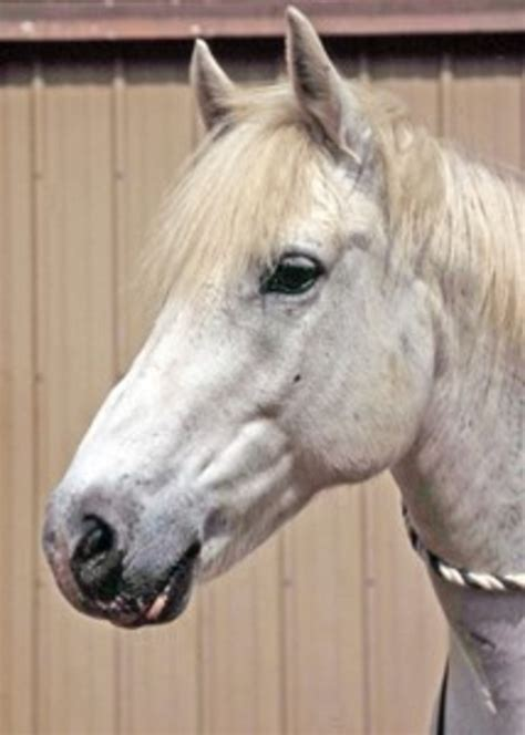 surgery   roarer  horse owners resource