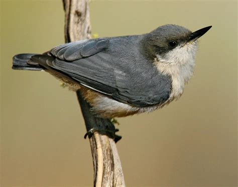 pygmy nuthatch songs and calls larkwire