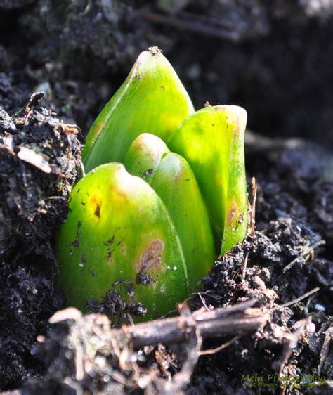 Blumenzwiebeln Einpflanzen Der Herbst Ist Die Richtige Zeit by Die Blumenzwiebeln Kommen Endlich Aus Der Erde 187 Mein