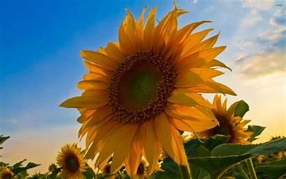 Sunflower Bunga Matahari Desktop Wallpapers Flower Bing