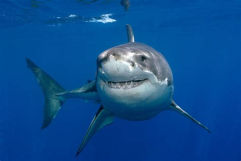 Great White Shark HD Wallpaper, Background Images
