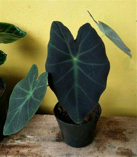 jual tanaman hias keladi hitam lapak nurseryshop