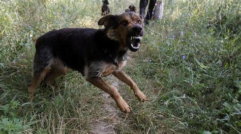 bengaluru stray dog menace  bites   minutes