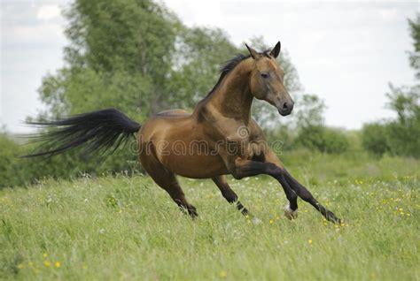 Golden Akhal Teke Horse