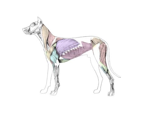 muscle anatomy   dog purposegames
