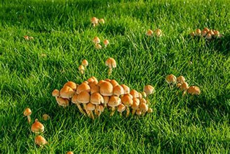 mushrooms   yard