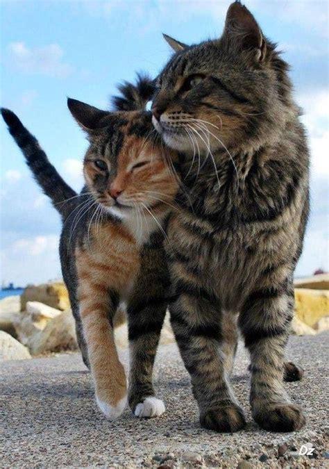 les calins de chats
