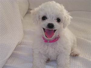 Funny Cute Little Poodle Dogs Photos 2012 | Funny Animals