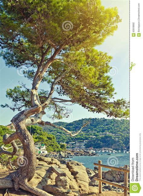 big green pine tree   seaside cliff summer landscape