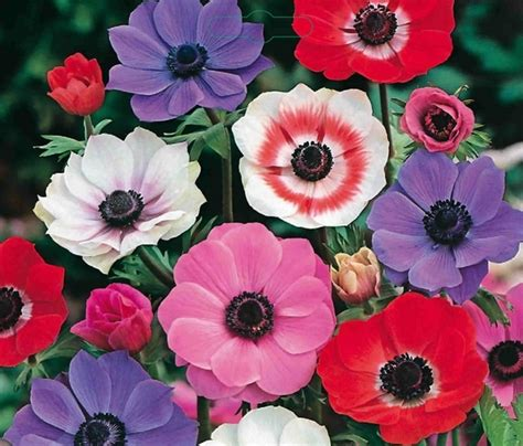 anemones de caen mix large pack for sale buy for