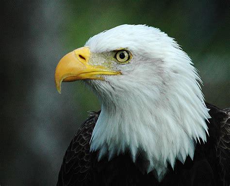 bald eagle  american flag pics wallpaper