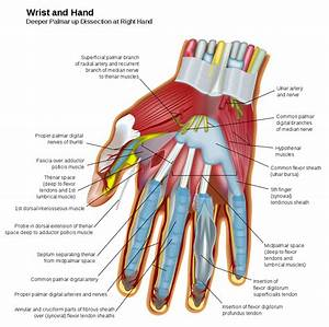 File Wrist And Hand Deeper Palmar Dissection-en Svg