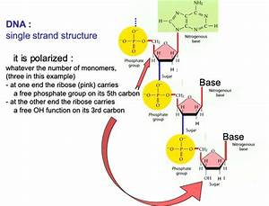 Why Can Dna Polymerase Only Add Nucleotides In The 5 U0026 39  To 3