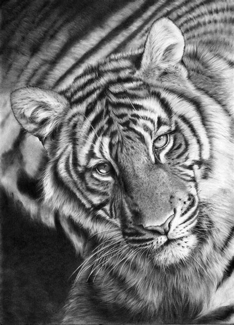 images  big cat drawings  pinterest