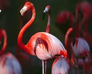 Best Jungle Life: Flamingos Birds & Flamingos Bird Pics
