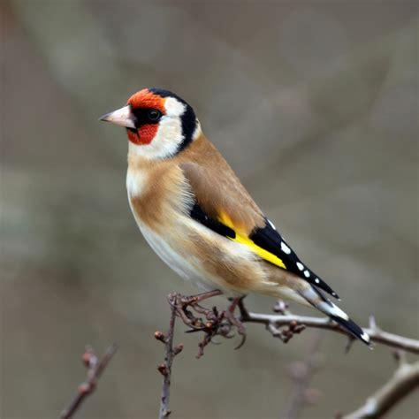 bird info goldfinch farbrook farm