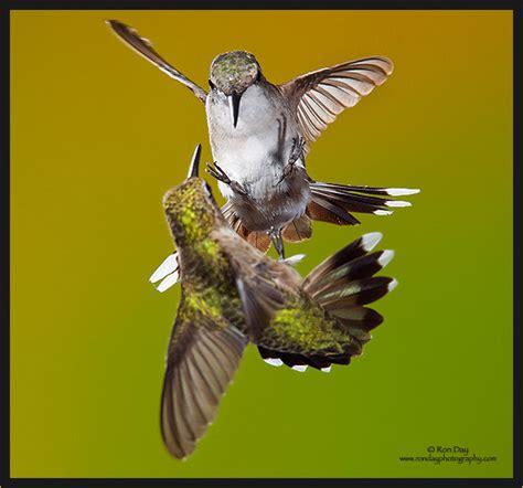shavoy bank humming birds lyrics genius lyrics