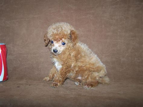 micro teacup poodle breeder  louisiana tiny teacup