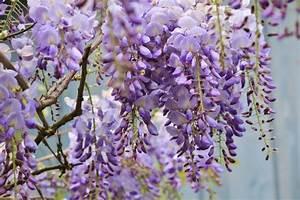 Engelstrompete Blüht Nicht : blauregen bl ht nicht daran kann es liegen pflanzen blauregen und blumen anbauen ~ A.2002-acura-tl-radio.info Haus und Dekorationen