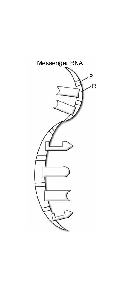 Helix Double Dna Worksheet Coloring Worksheets Structure
