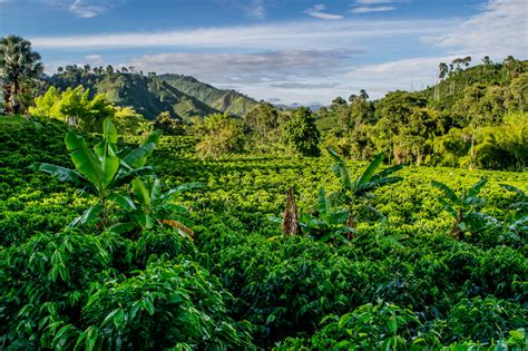 Coffee Farm. A Coffee Farm In Colombia Chemex Coffee Maker How To Bialetti Glass Natural Filters Square 100ct Italian Amazon Washer 6 Cup Induction Stove Moka Pot Youtube