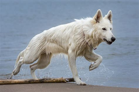 common questions   white german shepherd animalso
