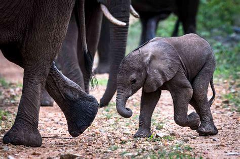 african elephant animals facts bush quiz fact gestation period months