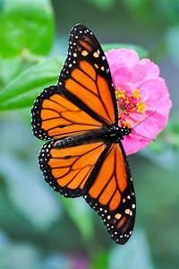 Farfalle Monarca