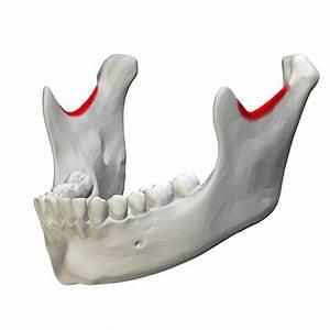 File:Mandibular notch - close-up - lateral view2.png ...