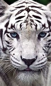 Sanctuaries where you can spot White Tigers in India ...