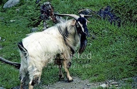 wild goat capra hirca  zealand nz stock photo