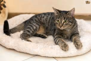 what is a tabby cat tabby cat colour and pattern genetics pets4homes