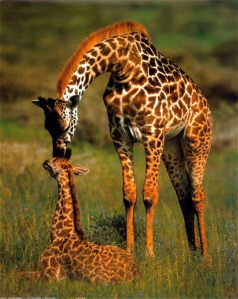 animal zoo life giraffesgiraffe factscartoon giraffe