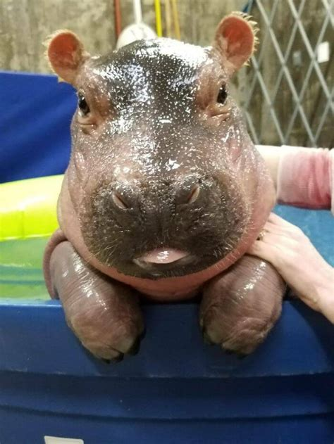 hippo baby smile knew possible ways never