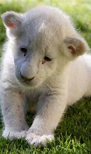 A roarsome sight! Super-rare white lion and tiger cubs fed ...