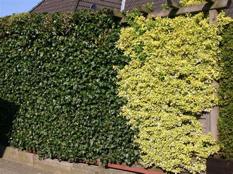 Zaun Begrünen Immergrün by Zaun Begrunen Immergrun