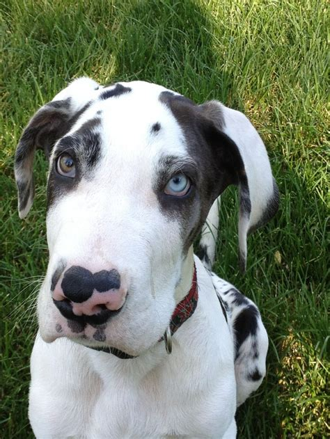 great dane colors harlequin quot mooshoe quot harlequin great dane one day i will