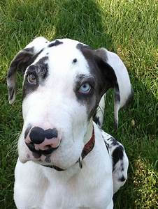 """Mooshoe"" Harlequin Great Dane 